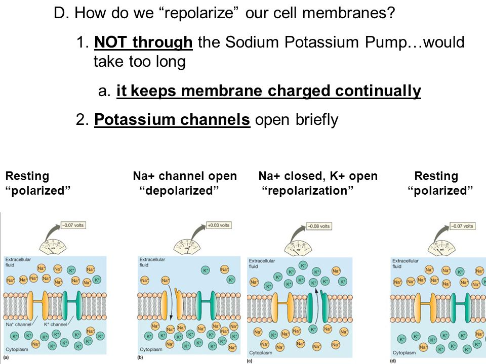 D. How do we repolarize our cell membranes