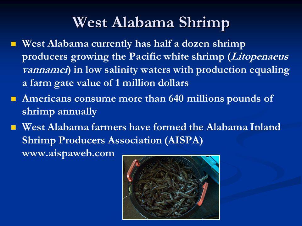 West Alabama Shrimp