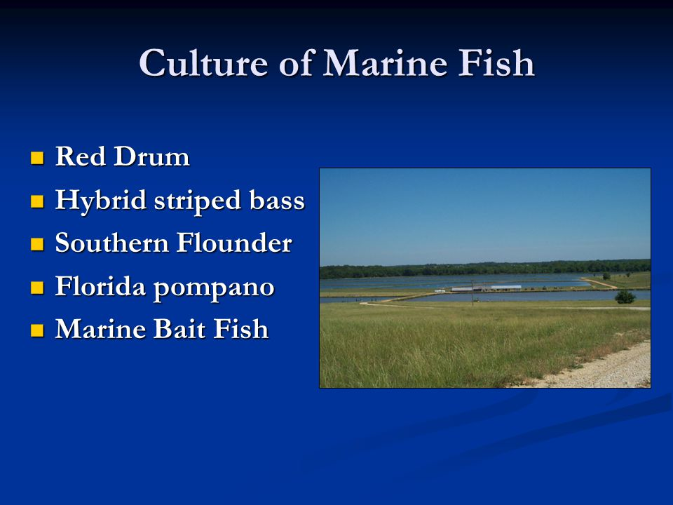 Culture of Marine Fish Red Drum Hybrid striped bass Southern Flounder