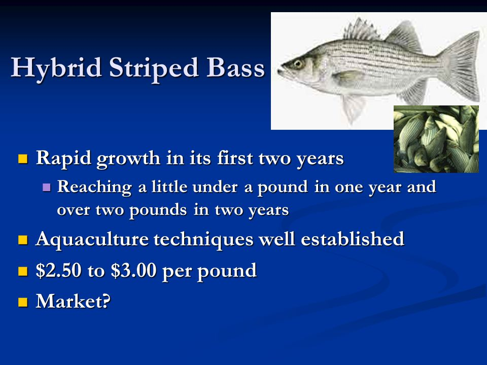 Hybrid Striped Bass Rapid growth in its first two years