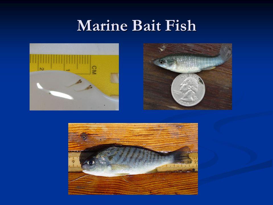 Marine Bait Fish