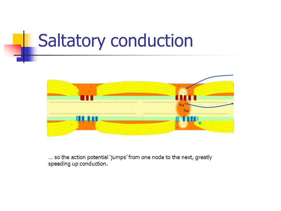 Saltatory conduction … so the action potential 'jumps' from one node to the next, greatly speeding up conduction.