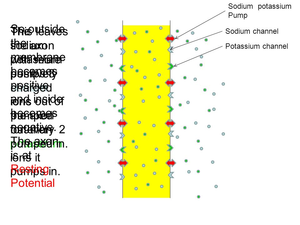 Sodium potassium Pump So outside the membrane becomes positive and inside becomes negative. The axon is at Resting Potential.