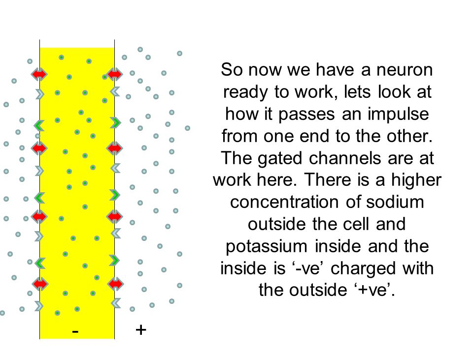 So now we have a neuron ready to work, lets look at how it passes an impulse from one end to the other. The gated channels are at work here. There is a higher concentration of sodium outside the cell and potassium inside and the inside is '-ve' charged with the outside '+ve'.