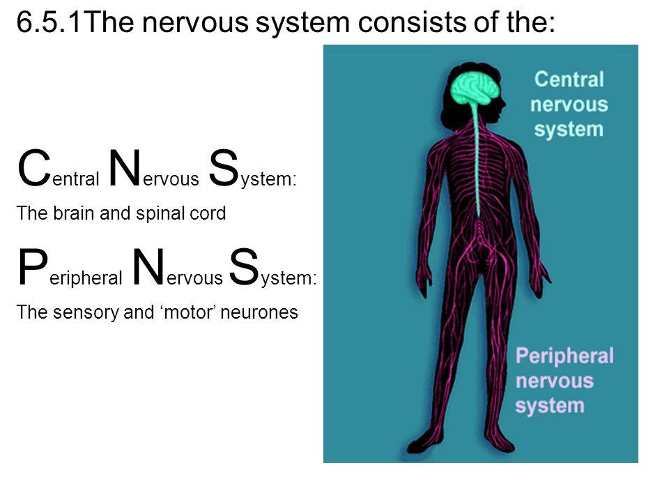 Central Nervous System: Peripheral Nervous System: