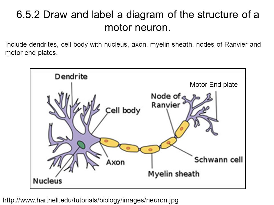6.5.2 Draw and label a diagram of the structure of a motor neuron.
