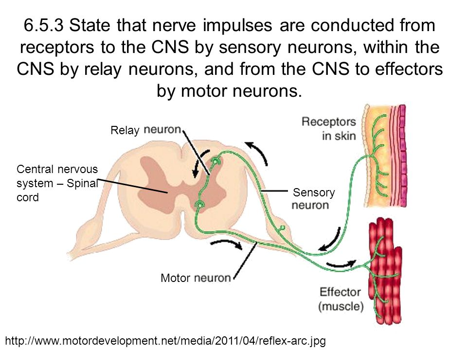 6.5.3 State that nerve impulses are conducted from receptors to the CNS by sensory neurons, within the CNS by relay neurons, and from the CNS to effectors by motor neurons.