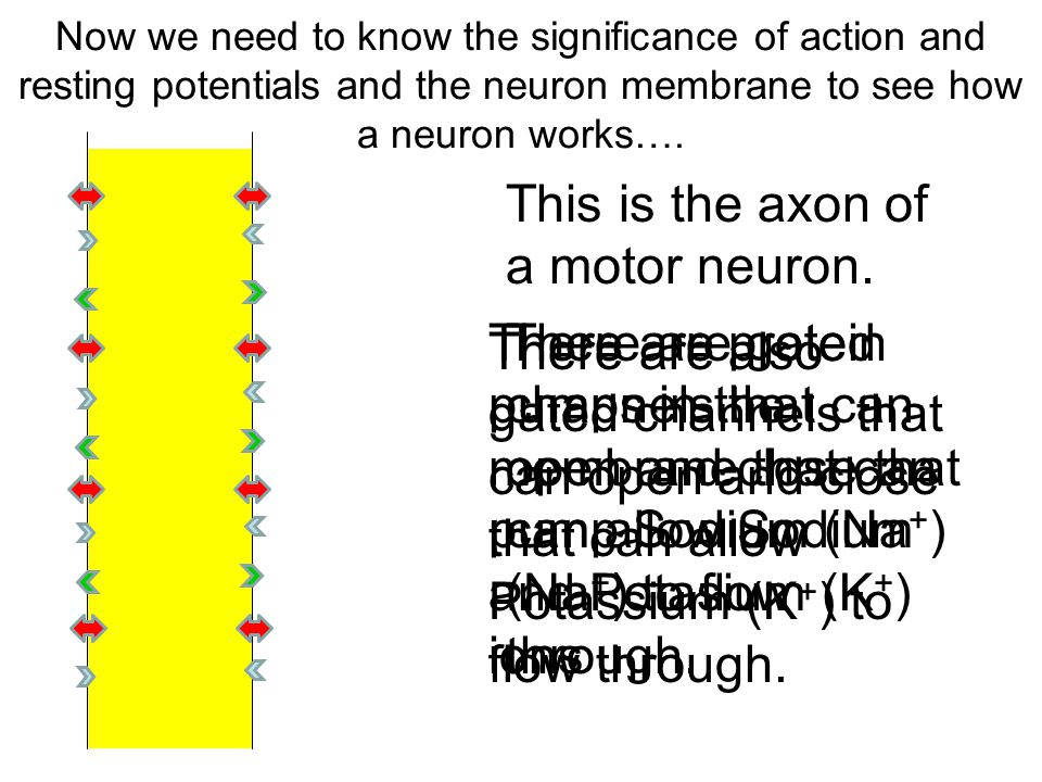 This is the axon of a motor neuron.