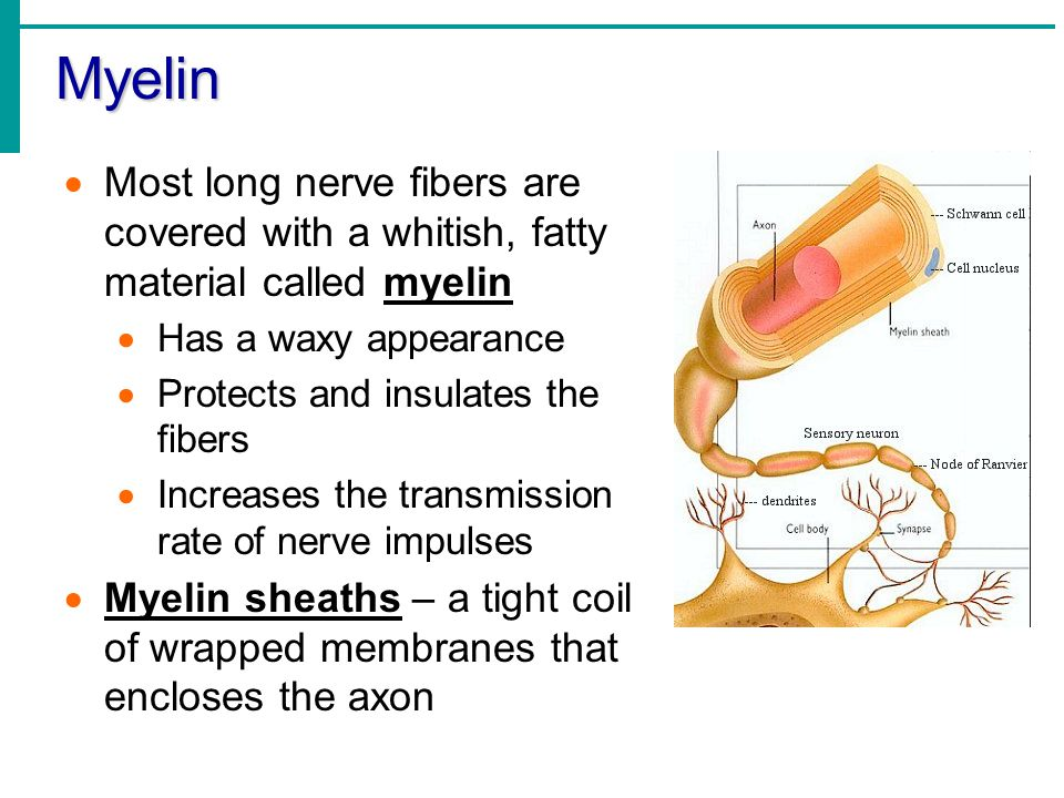 Myelin Most long nerve fibers are covered with a whitish, fatty material called myelin. Has a waxy appearance.