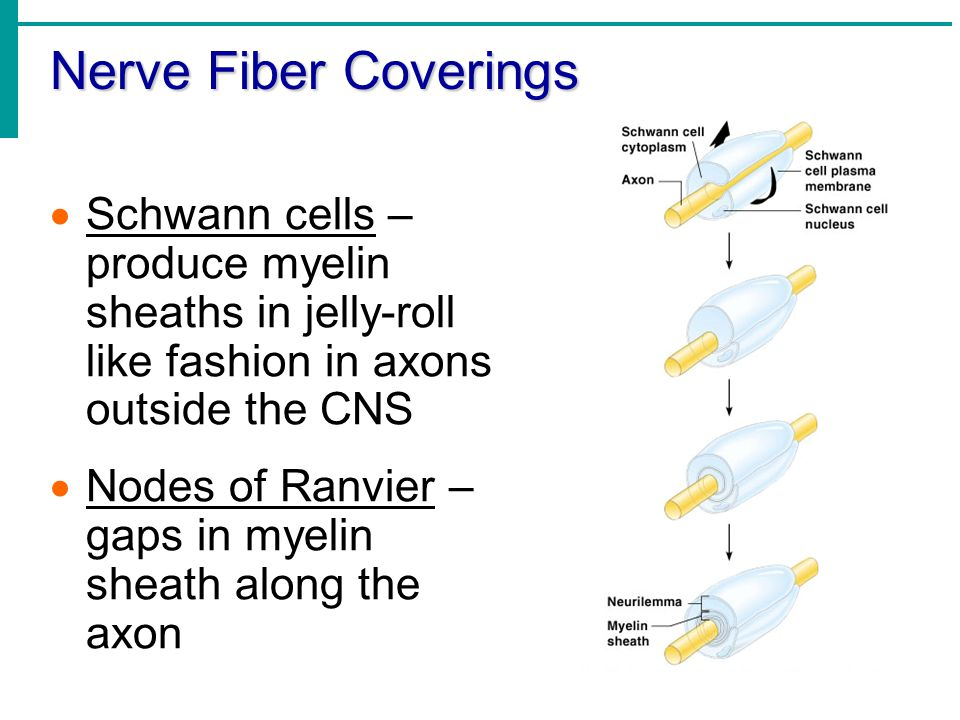 Nerve Fiber Coverings Schwann cells – produce myelin sheaths in jelly-roll like fashion in axons outside the CNS.