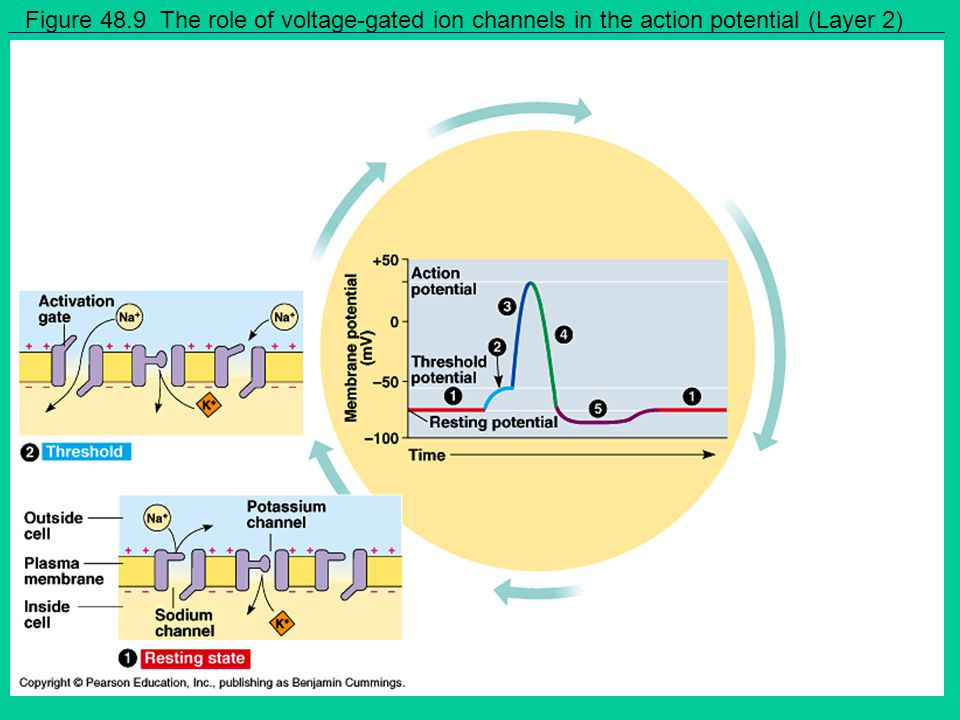 Figure 48.9 The role of voltage-gated ion channels in the action potential (Layer 2)