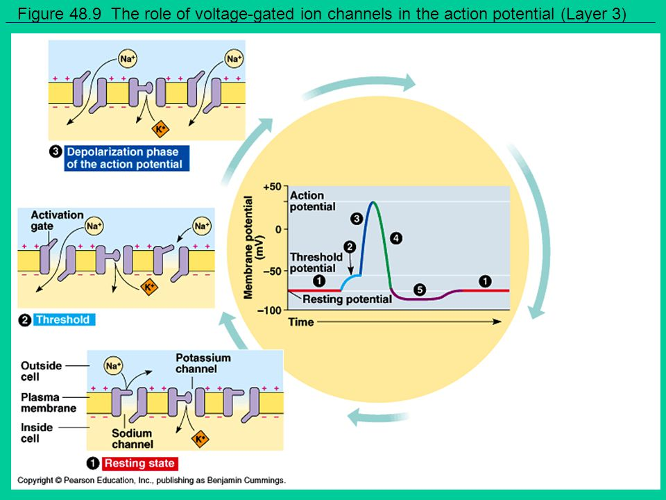 Figure 48.9 The role of voltage-gated ion channels in the action potential (Layer 3)