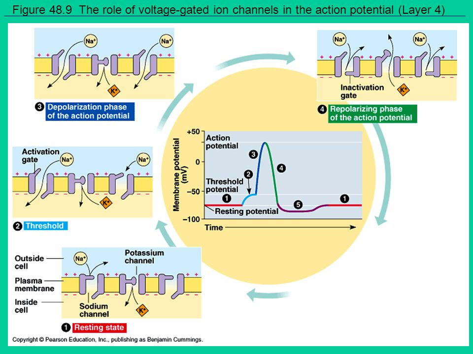 Figure 48.9 The role of voltage-gated ion channels in the action potential (Layer 4)