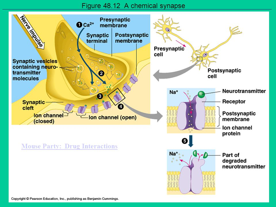 Figure 48.12 A chemical synapse