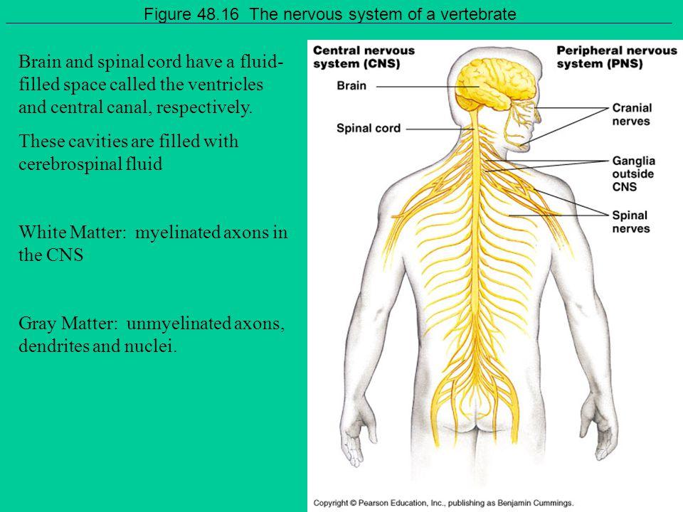 Figure 48.16 The nervous system of a vertebrate
