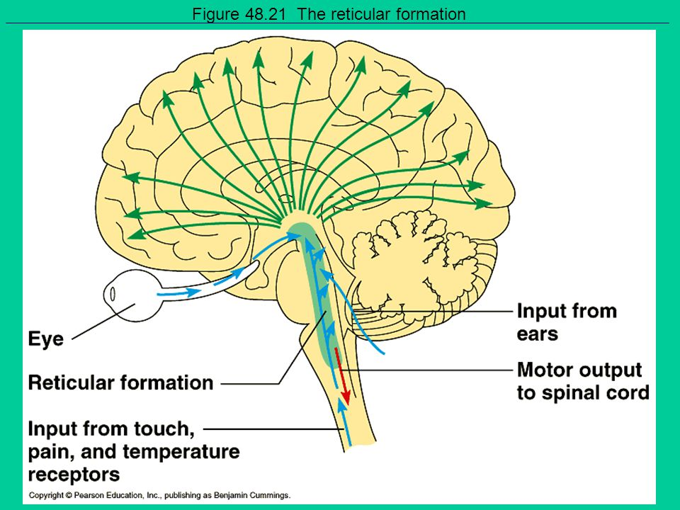 Figure 48.21 The reticular formation