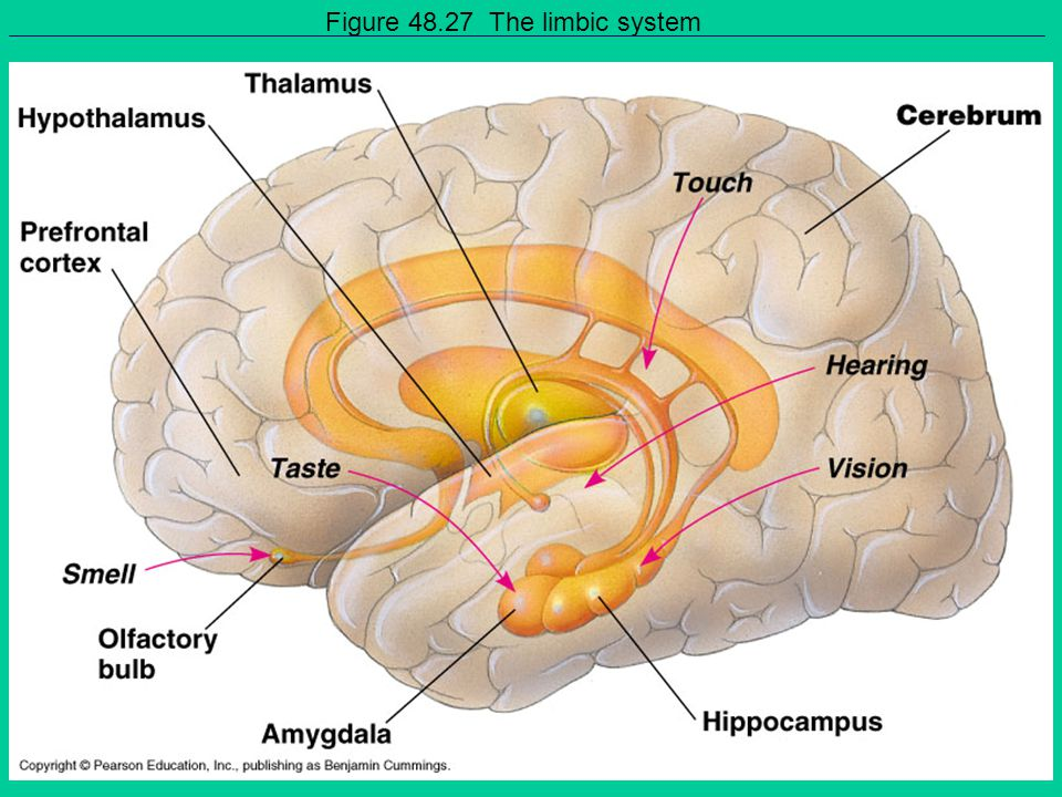 Figure 48.27 The limbic system
