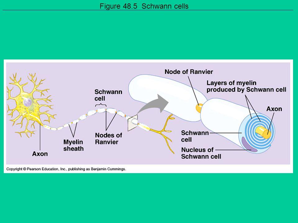 Figure 48.5 Schwann cells
