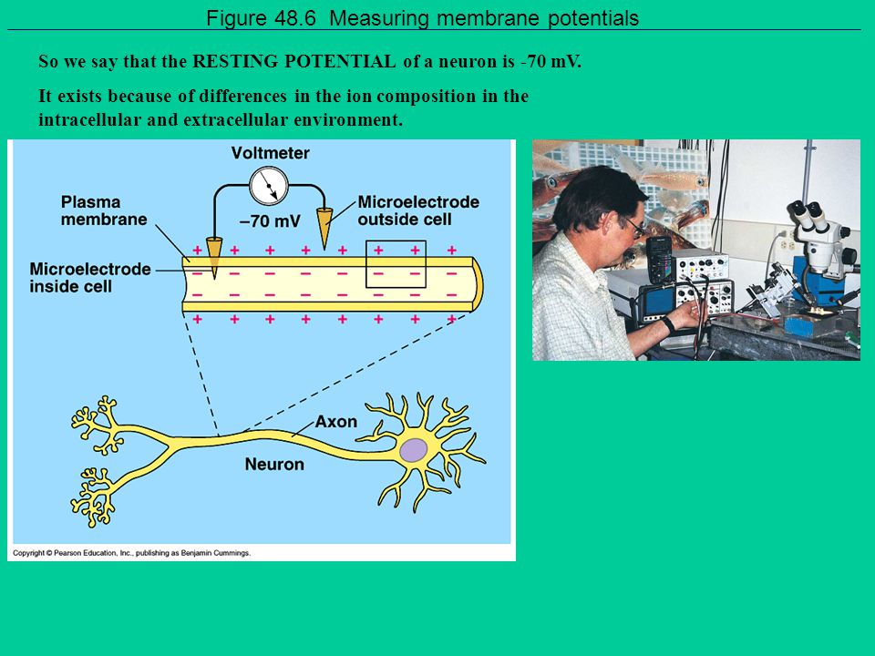 Figure 48.6 Measuring membrane potentials
