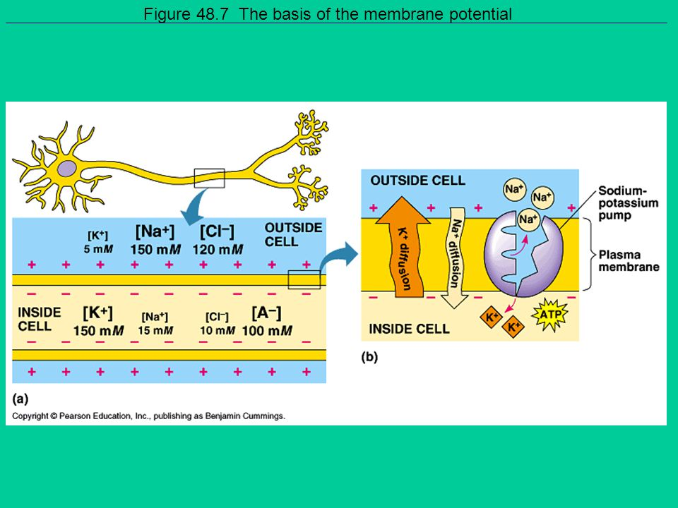 Figure 48.7 The basis of the membrane potential