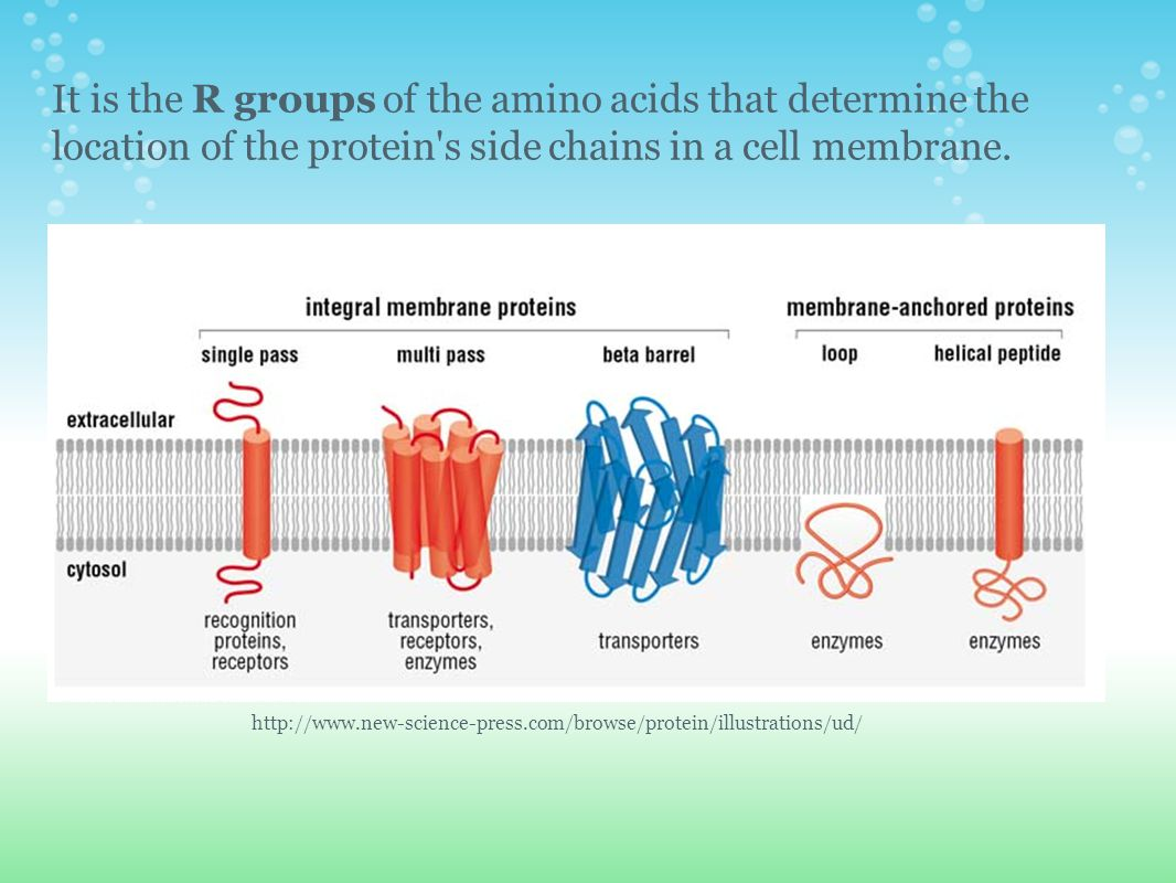 It is the R groups of the amino acids that determine the location of the protein s side chains in a cell membrane.