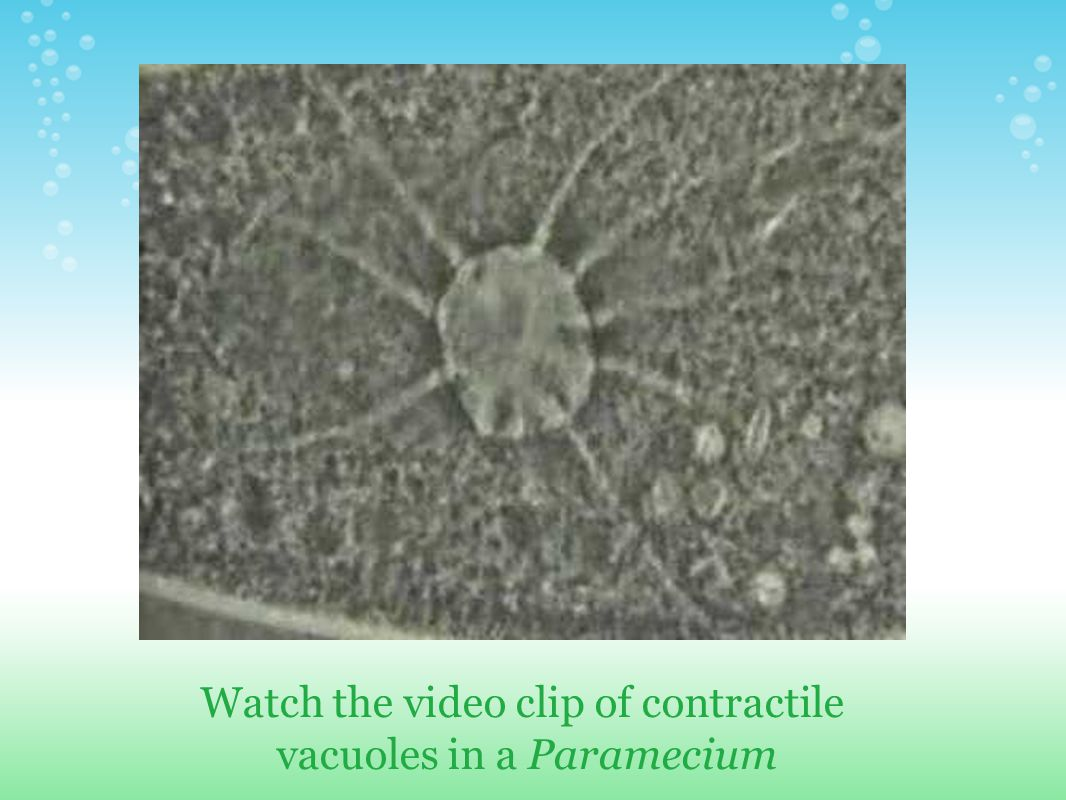 Watch the video clip of contractile vacuoles in a Paramecium