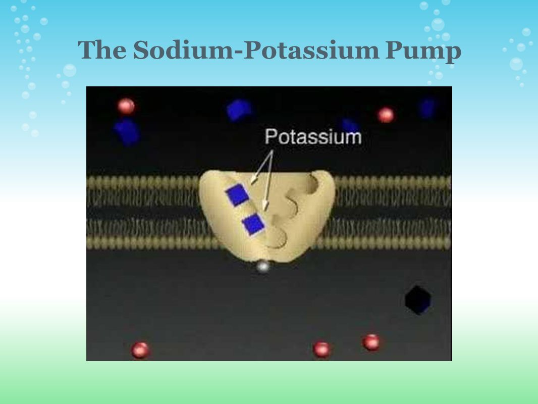 The Sodium-Potassium Pump