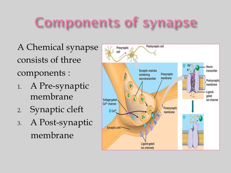 Components of synapse A Chemical synapse consists of three