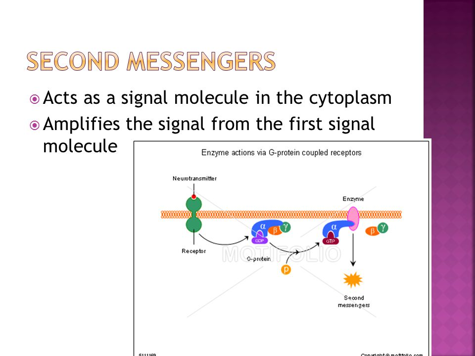 Second Messengers Acts as a signal molecule in the cytoplasm