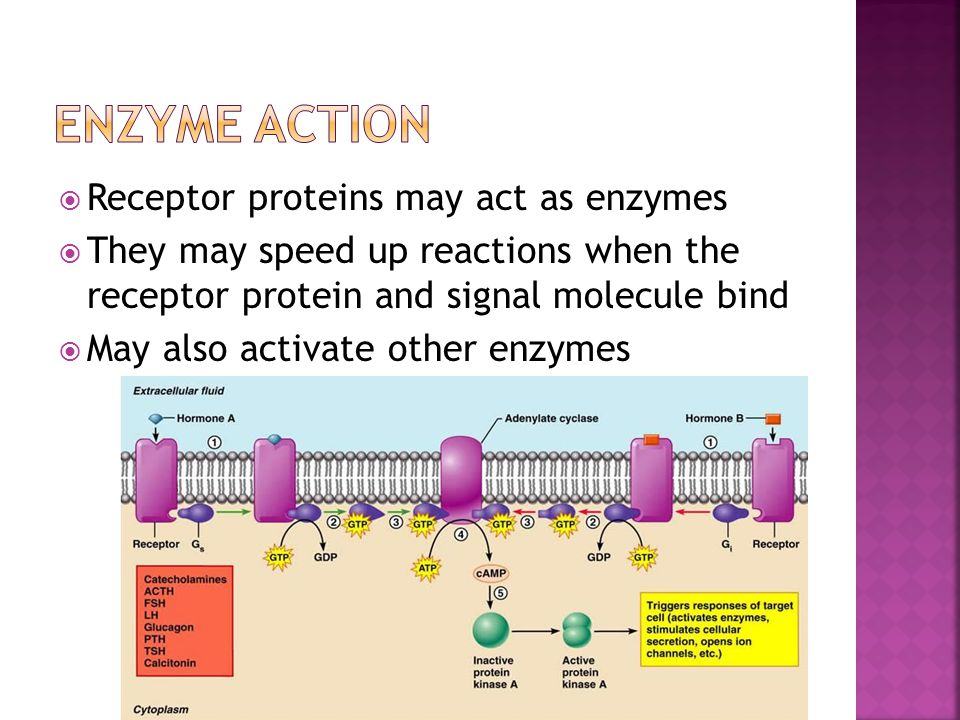 Enzyme Action Receptor proteins may act as enzymes