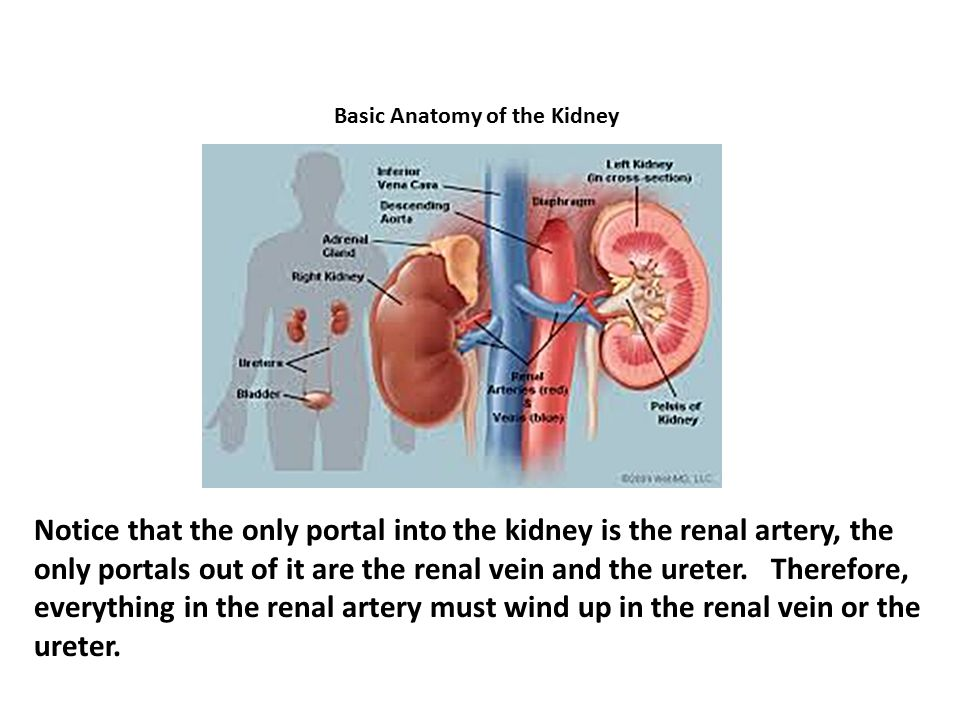 Basic Anatomy of the Kidney