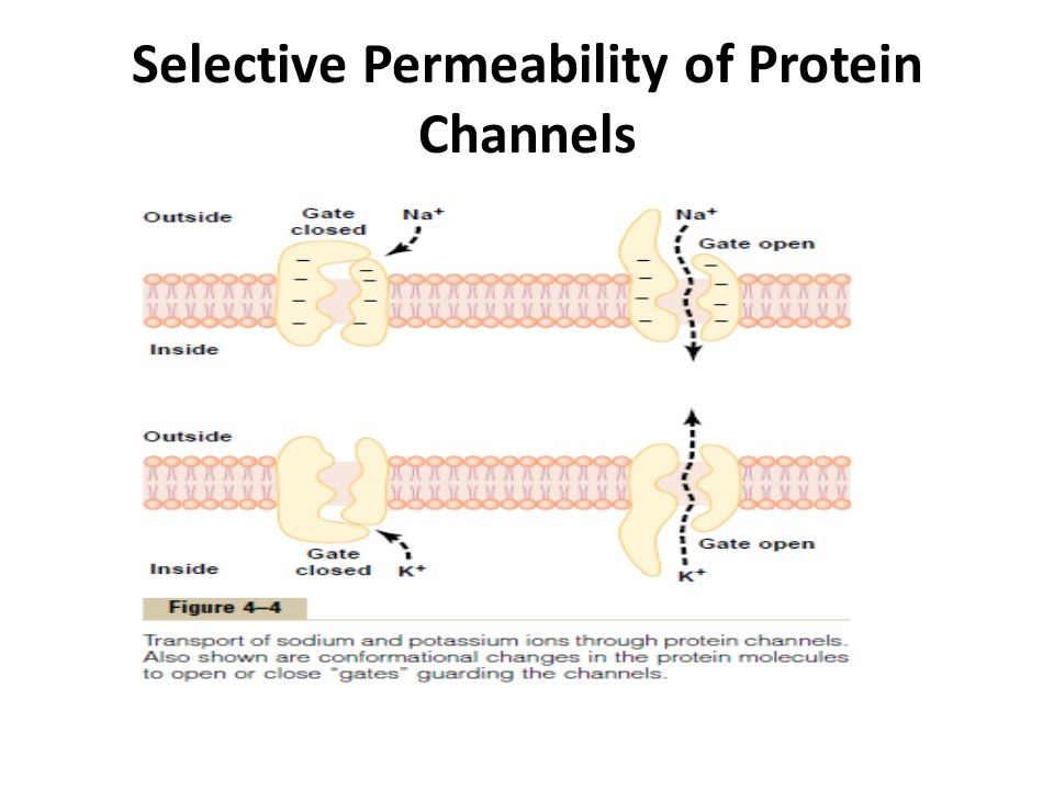 Selective Permeability of Protein Channels