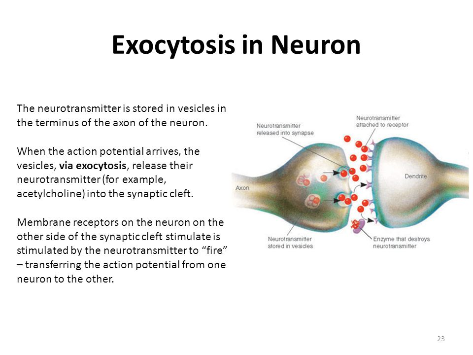 Exocytosis in Neuron The neurotransmitter is stored in vesicles in the terminus of the axon of the neuron.