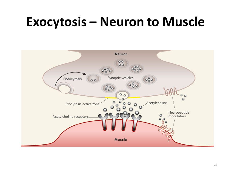 Exocytosis – Neuron to Muscle