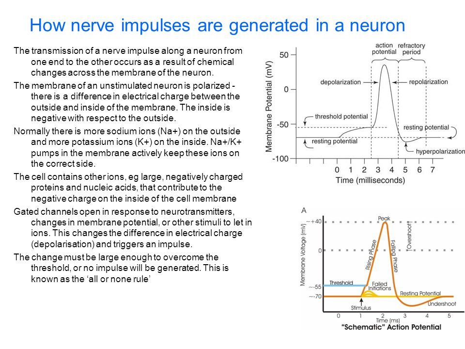 How nerve impulses are generated in a neuron