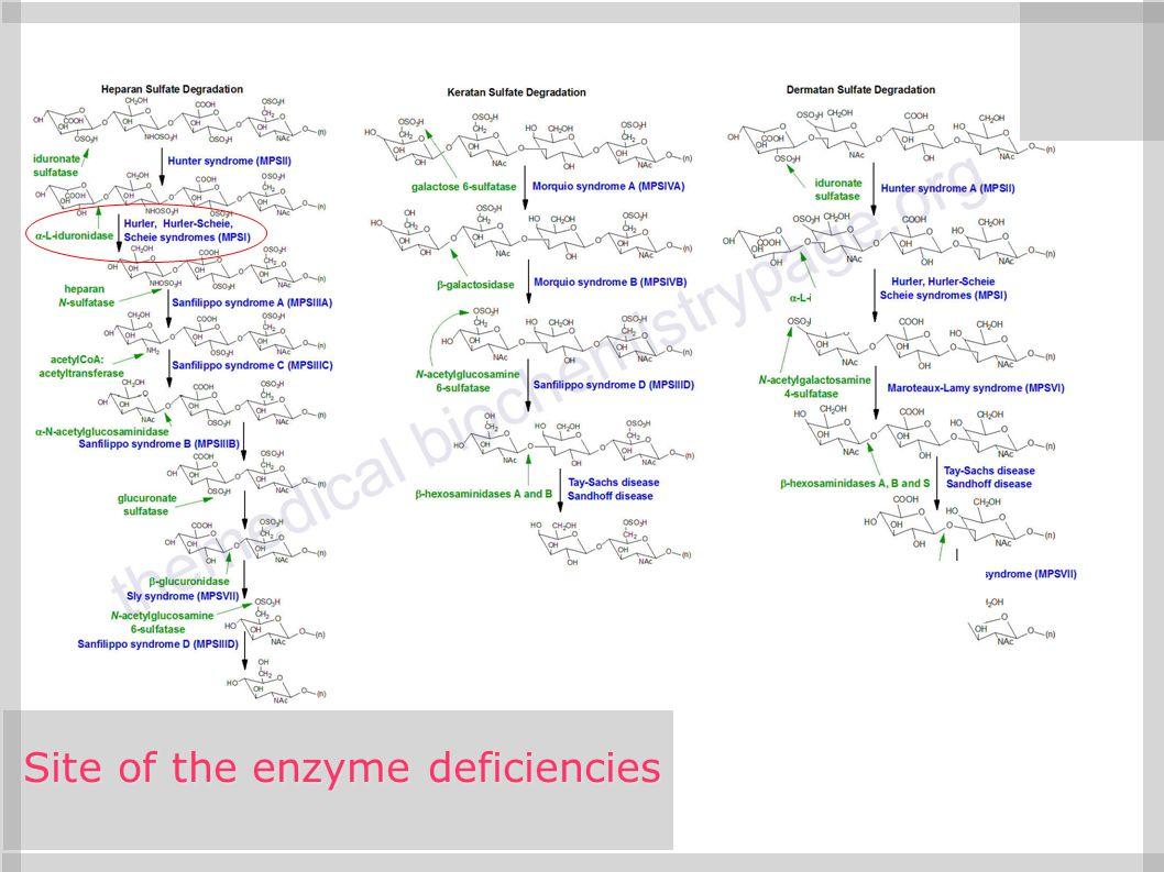 Site of the enzyme deficiencies