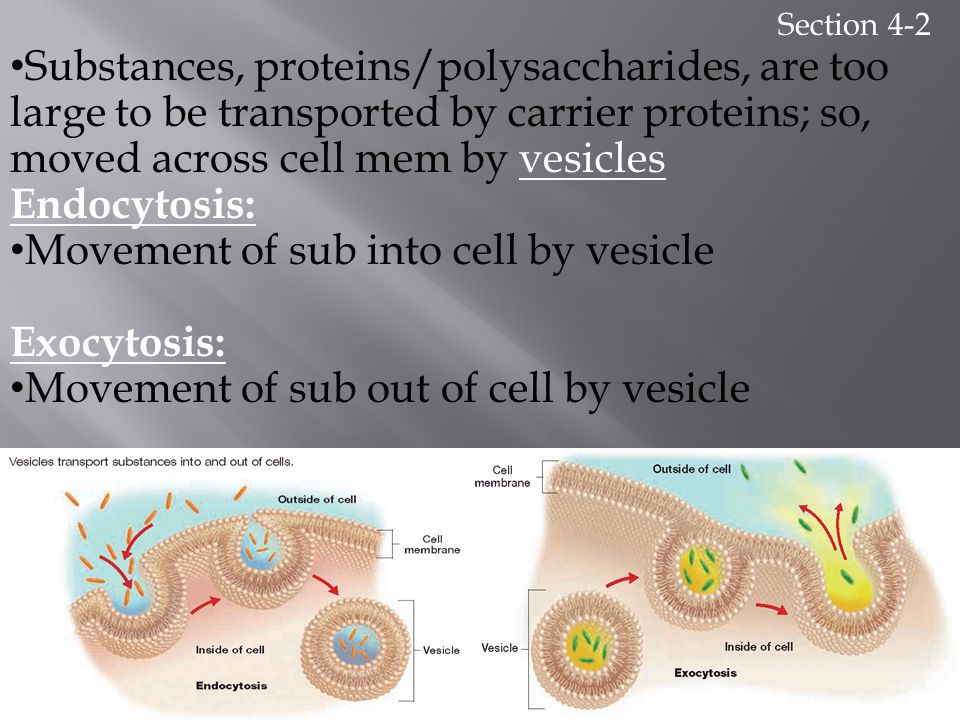 Movement of sub into cell by vesicle Exocytosis: