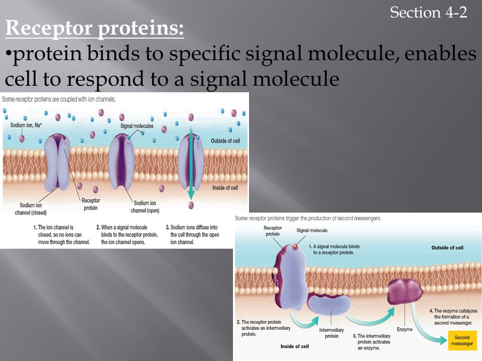 Section 4-2 Receptor proteins: protein binds to specific signal molecule, enables cell to respond to a signal molecule.