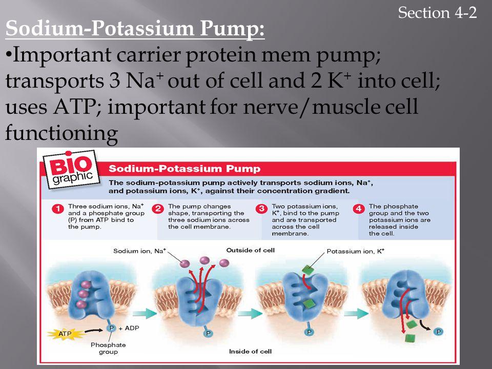 Sodium-Potassium Pump: