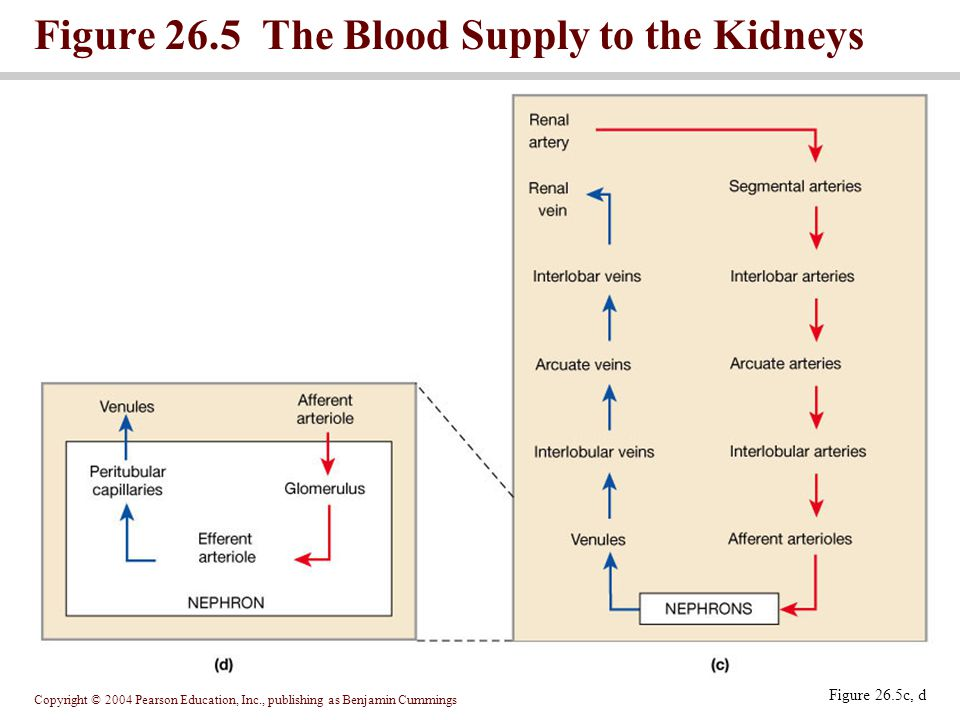 Figure 26.5 The Blood Supply to the Kidneys
