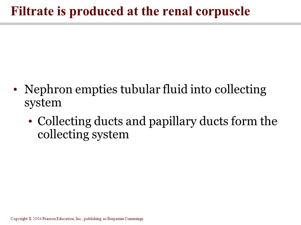 Filtrate is produced at the renal corpuscle