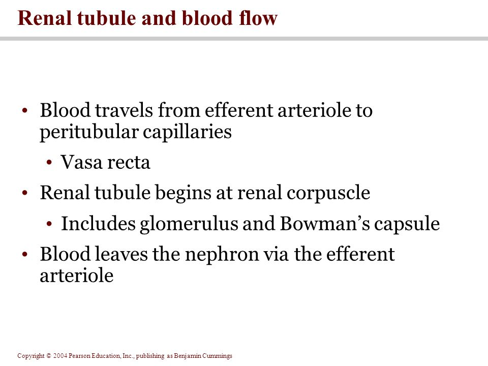 Renal tubule and blood flow