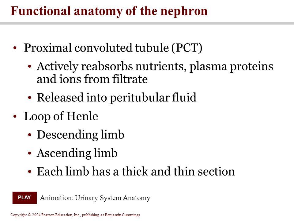 Functional anatomy of the nephron