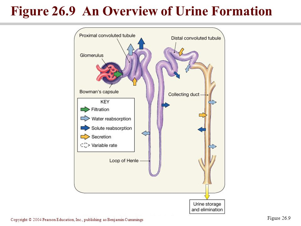 Figure 26.9 An Overview of Urine Formation