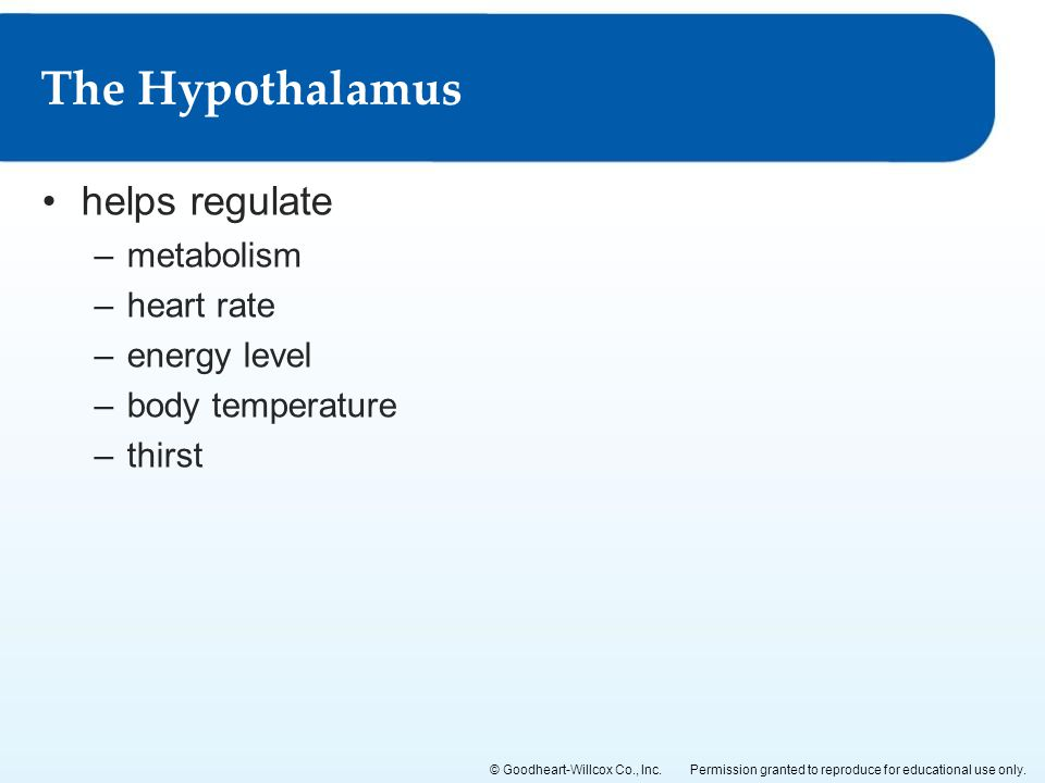 The Hypothalamus helps regulate metabolism heart rate energy level