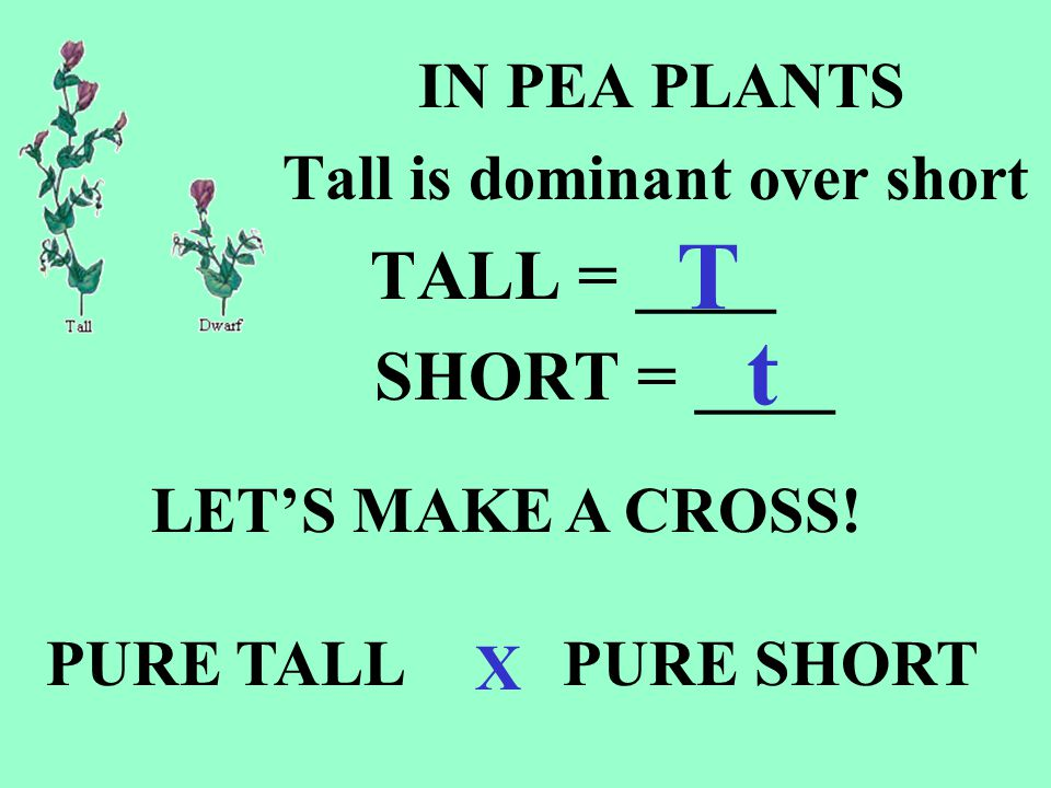 T t TALL = ____ SHORT = ____ IN PEA PLANTS Tall is dominant over short