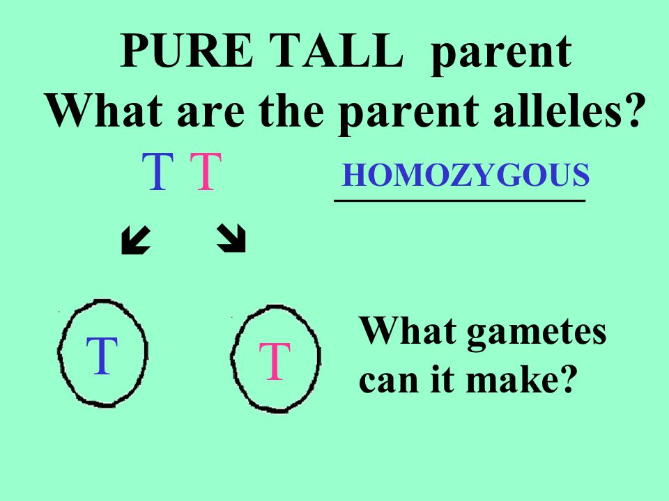PURE TALL parent What are the parent alleles
