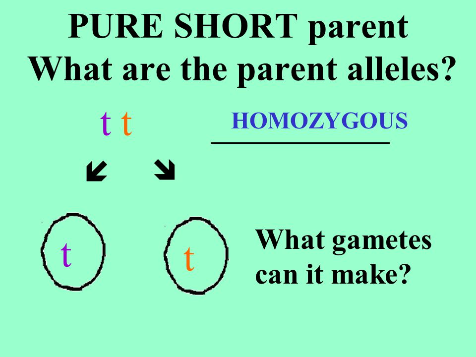 PURE SHORT parent What are the parent alleles