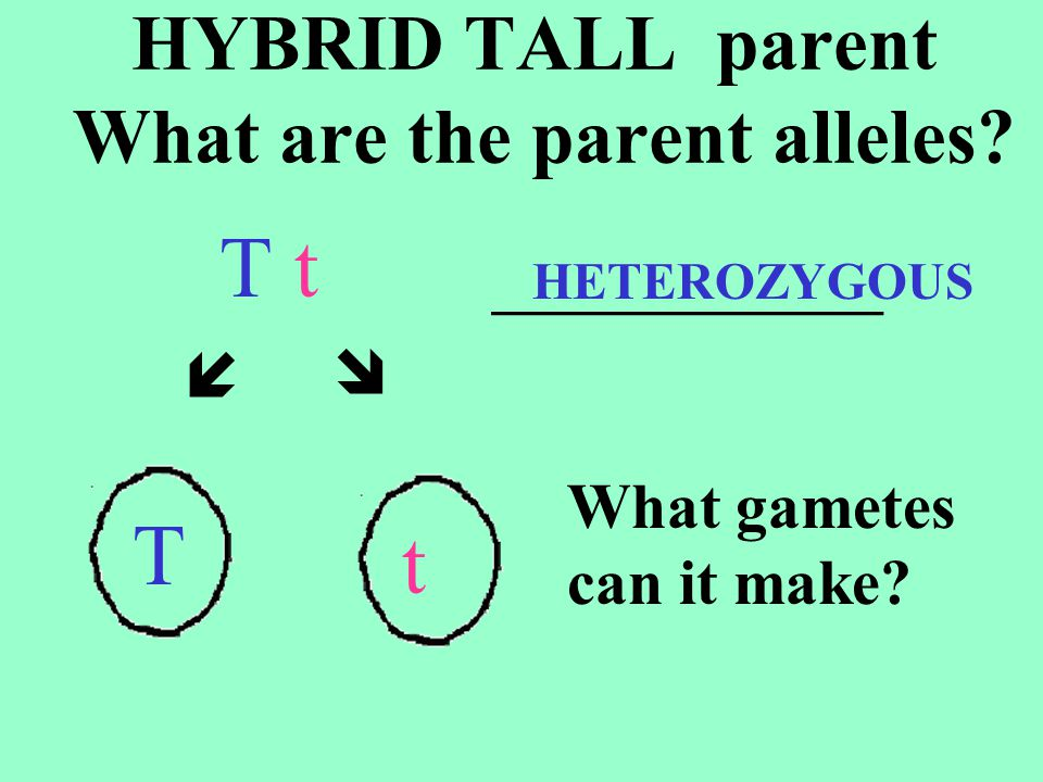 HYBRID TALL parent What are the parent alleles