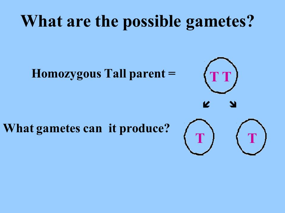 What are the possible gametes